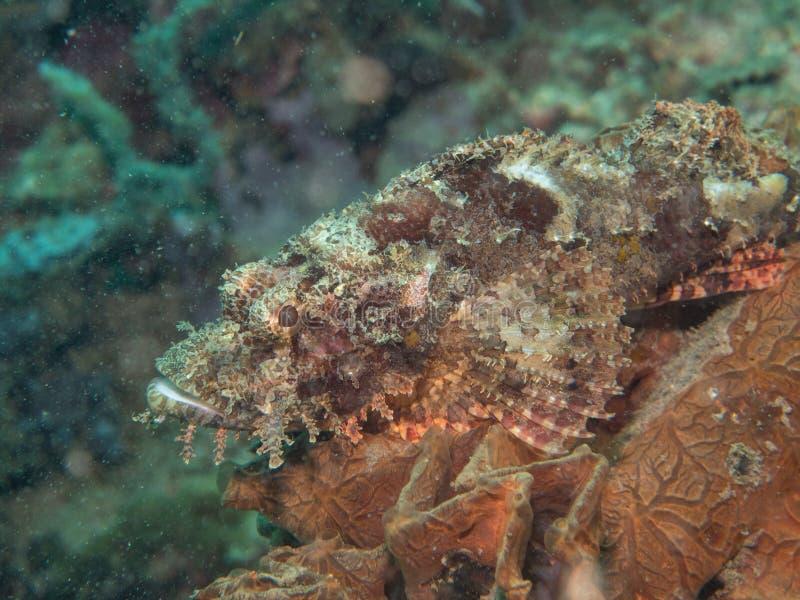 Рыбы скорпиона на под море стоковое фото
