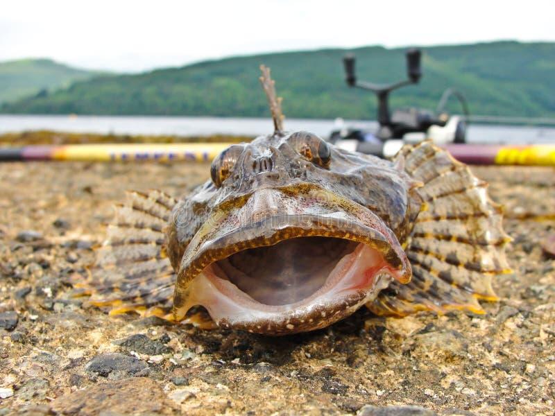 Download Рыбы скорпиона рыболовства стоковое изображение. изображение насчитывающей рот - 33732299