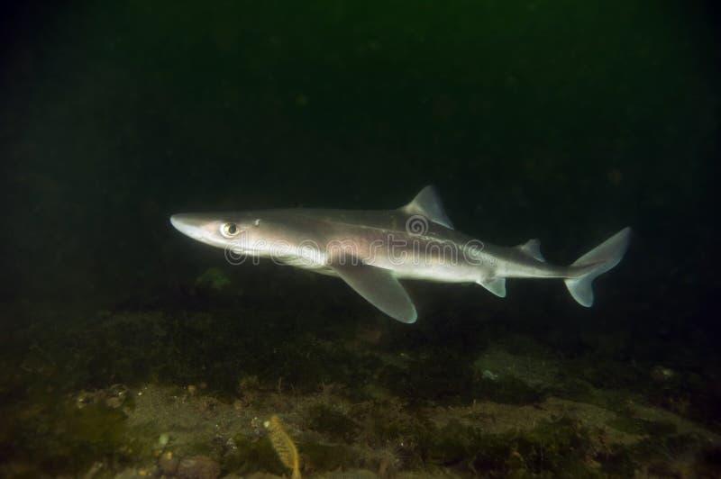 рыбы собаки spiny стоковая фотография
