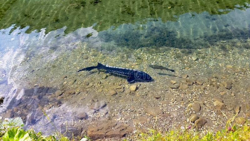 Рыбы стерляжины стоковые фотографии rf
