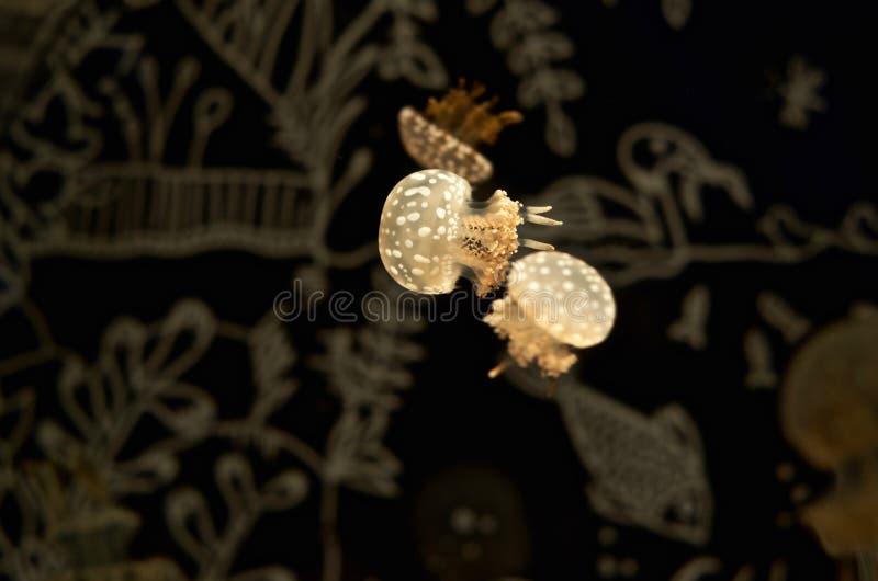 Рыбы студня, аквариум - II стоковое фото
