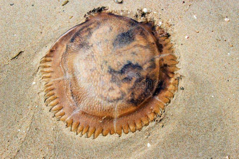 рыбы студня на песке стоковое фото