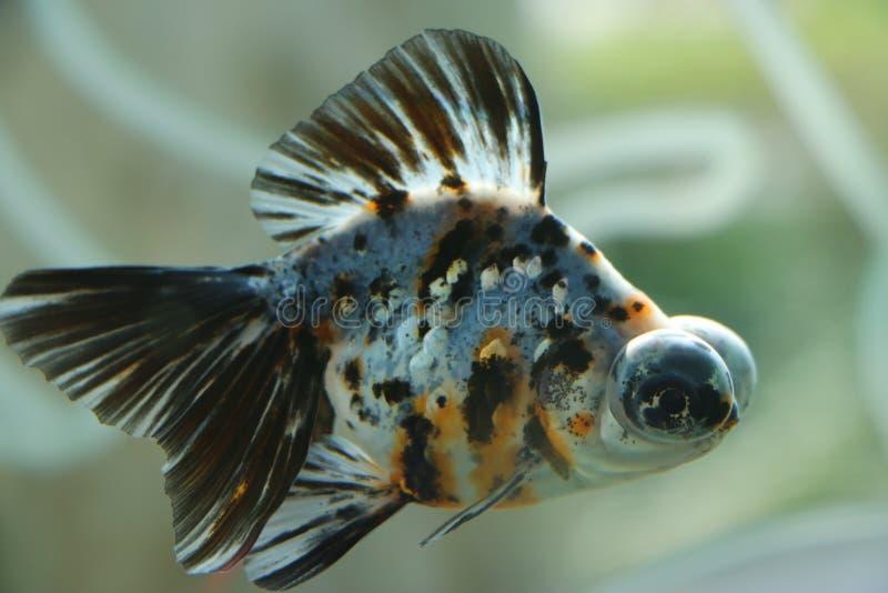 Рыбы с большими глазами стоковые изображения rf
