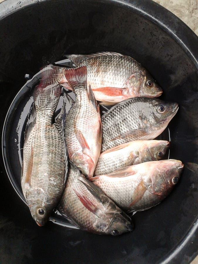 Рыбы тилапии Нила на пластичном enamelware стоковые фото