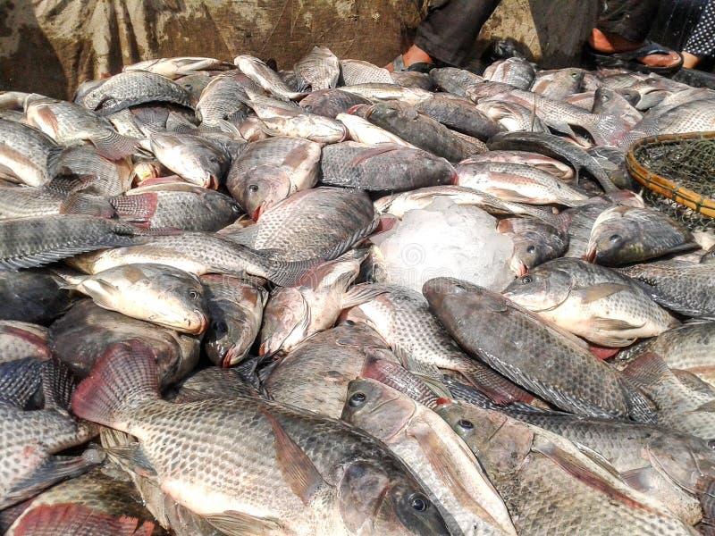 Рыбы тилапии Нила стоковая фотография