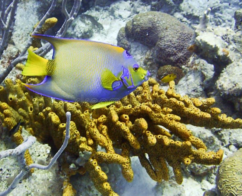 Рыбы ферзя Анджела тропические стоковое фото