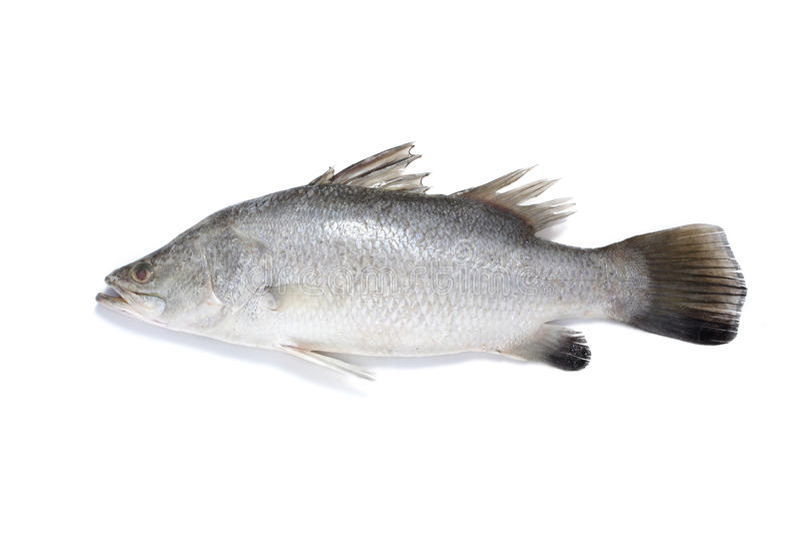 рыбы barramundi стоковое фото