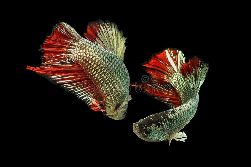 Рыбы Betta мед-красные стоковые фото