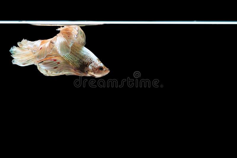 Рыбы betta полумесяца красивые захватите рыб moving betta beautifHalfmoon момента красивых захватите moving момент красивый стоковые изображения rf