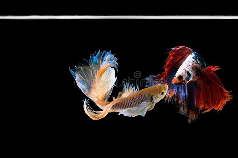 Рыбы betta полумесяца красивые Захватите moving момент красивый рыб betta Сиама в Таиланде на черной предпосылке стоковое изображение