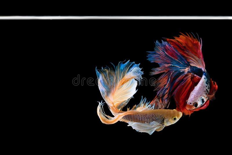 Рыбы betta полумесяца красивые Захватите moving момент красивый рыб betta Сиама в Таиланде на черной предпосылке стоковое фото rf