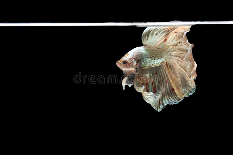 Рыбы betta полумесяца красивые Захватите moving момент красивый рыб betta Сиама в Таиланде на черной предпосылке стоковые изображения