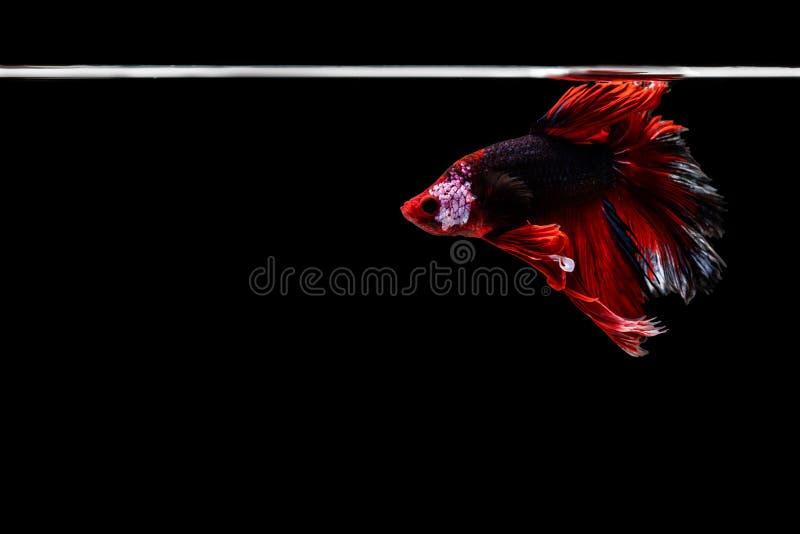 Рыбы betta полумесяца красивые Захватите moving момент красивый рыб betta Сиама в Таиланде на черной предпосылке стоковое фото