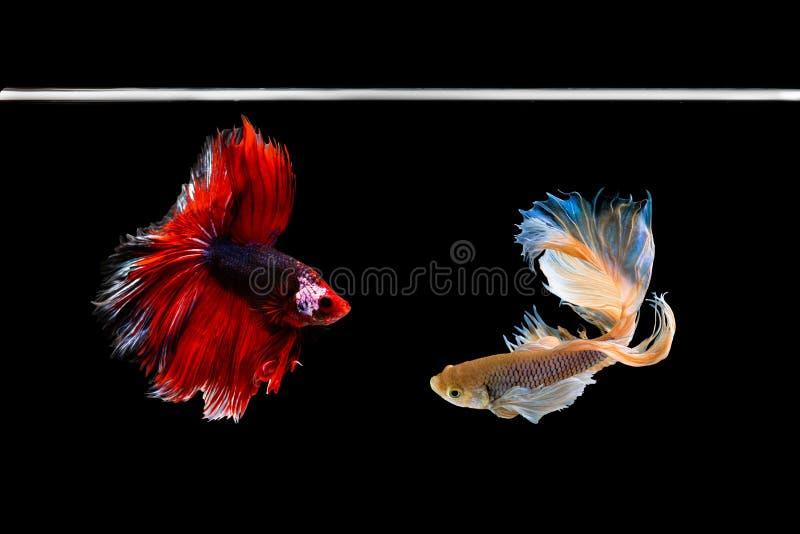 Рыбы betta полумесяца красивые Захватите moving момент красивый рыб betta Сиама в Таиланде на черной предпосылке стоковое изображение rf