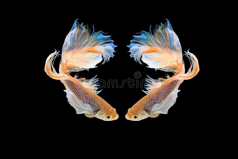 Рыбы betta полумесяца красивые Захватите moving момент красивый рыб betta Сиама в Таиланде на черной предпосылке стоковые фото