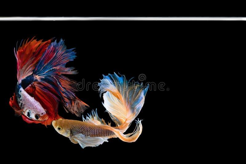 Рыбы betta полумесяца красивые Захватите moving момент красивый рыб betta Сиама в Таиланде на черной предпосылке стоковые фотографии rf