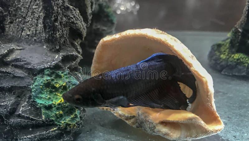 Рыбы Betta сидя в seashell стоковая фотография rf