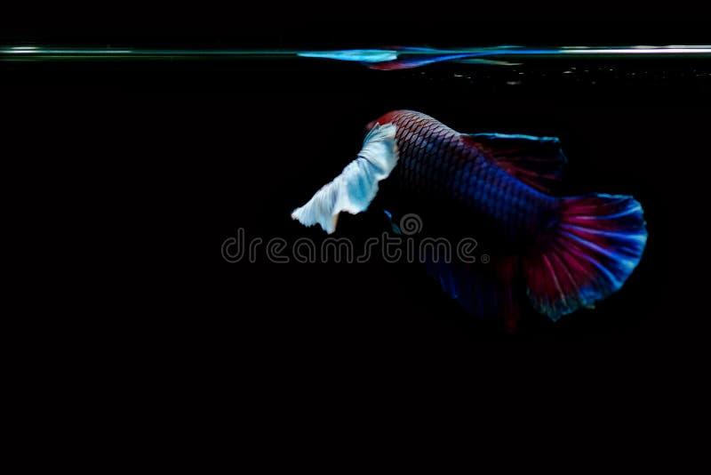 Рыбы Betta стоковое изображение rf
