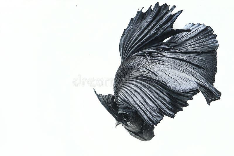 Рыбы Betta стоковая фотография
