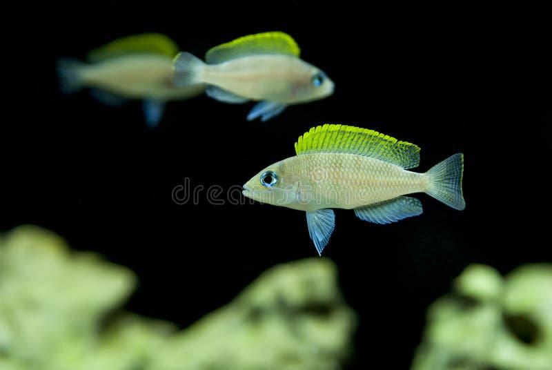 Рыбы Cichlid Lamprologus шахматной доски caudopunctatus Neolamprologus африканские стоковые фотографии rf