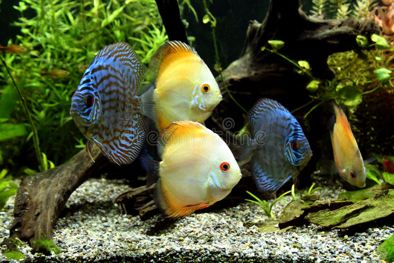 рыбы discus аквариума стоковое изображение rf
