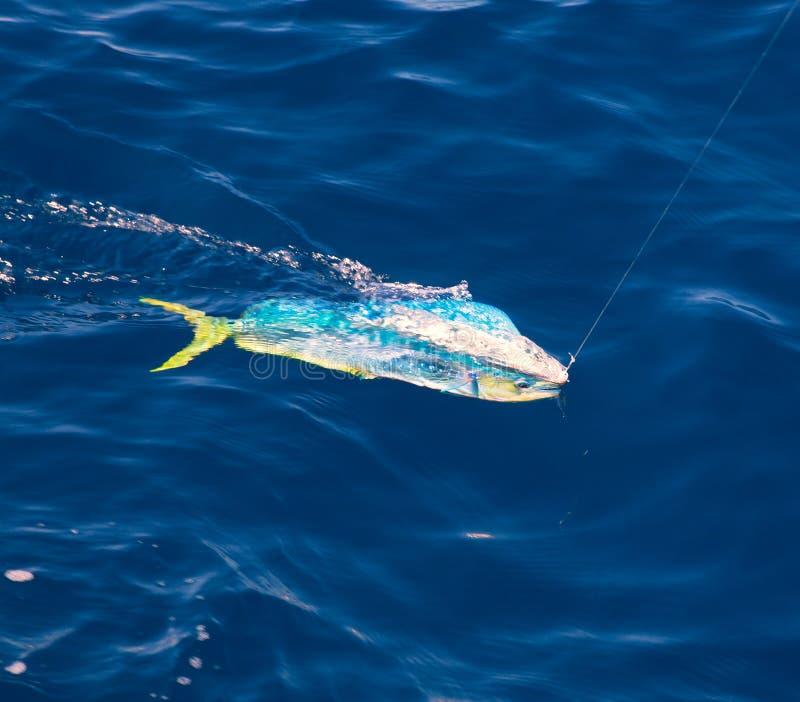 Рыбы Dorado Mahi-Mahi закрепленные с удя линией стоковое изображение