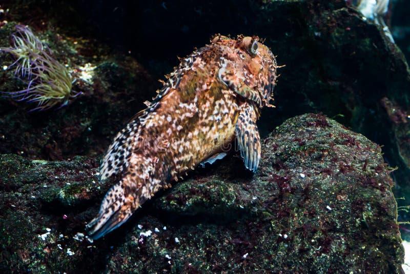 Рыбы Dusky морского окуня стоковые фото