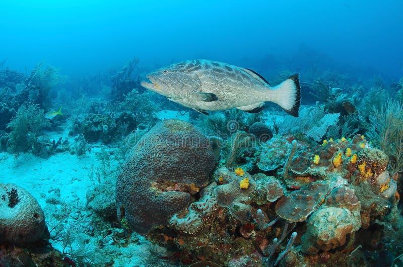 Рыбы Grouper и коралловый риф стоковая фотография