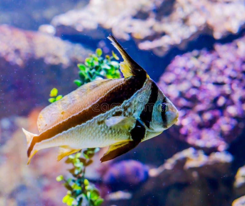 Рыбы Jackknife также известные как копьевидный ribbonfish плавая тропический морской портрет рыб морской жизни экзотического люби стоковые изображения
