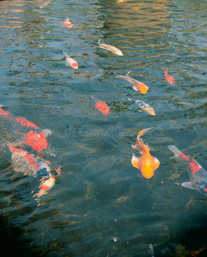 Рыбы KOI в пруде стоковые изображения rf