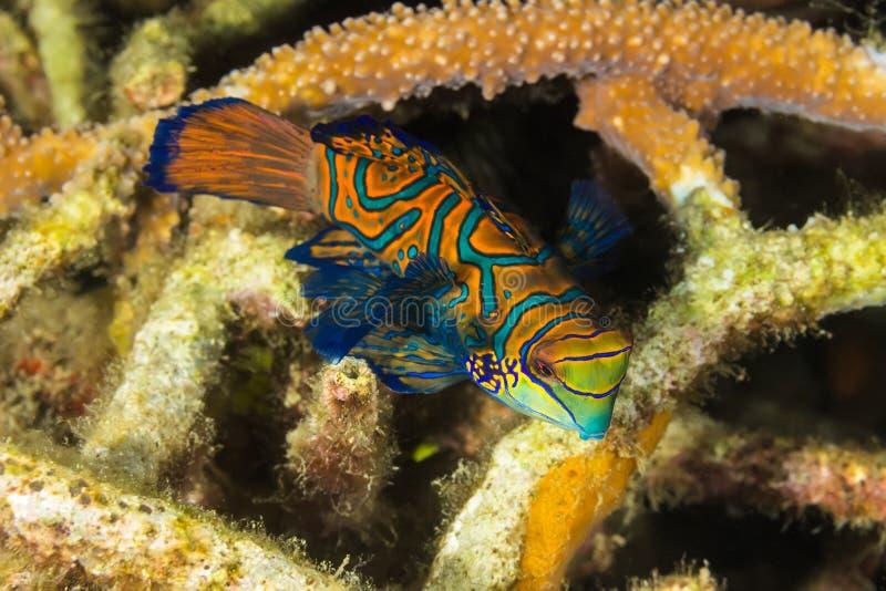 Рыбы Madarin, Madarin Dragonet стоковые изображения rf
