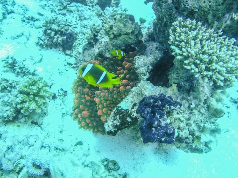Рыбы Nemo соединяют плавать вокруг ветреницы в Красном Море стоковое изображение