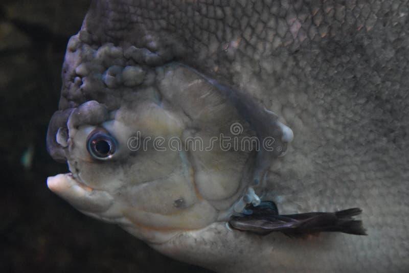 Рыбы Pacu стоковое изображение rf