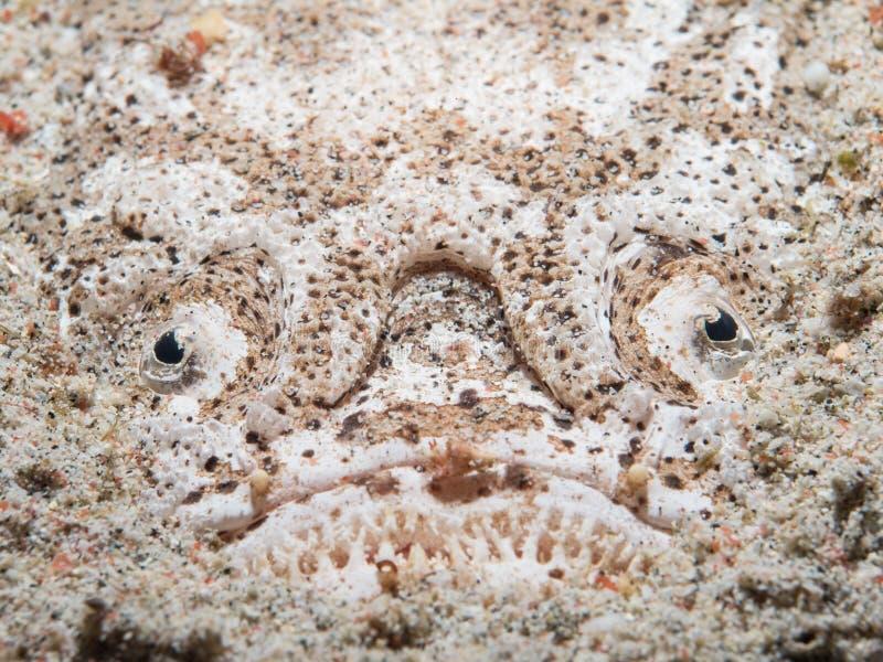 Рыбы Stargazer в песке стоковое изображение