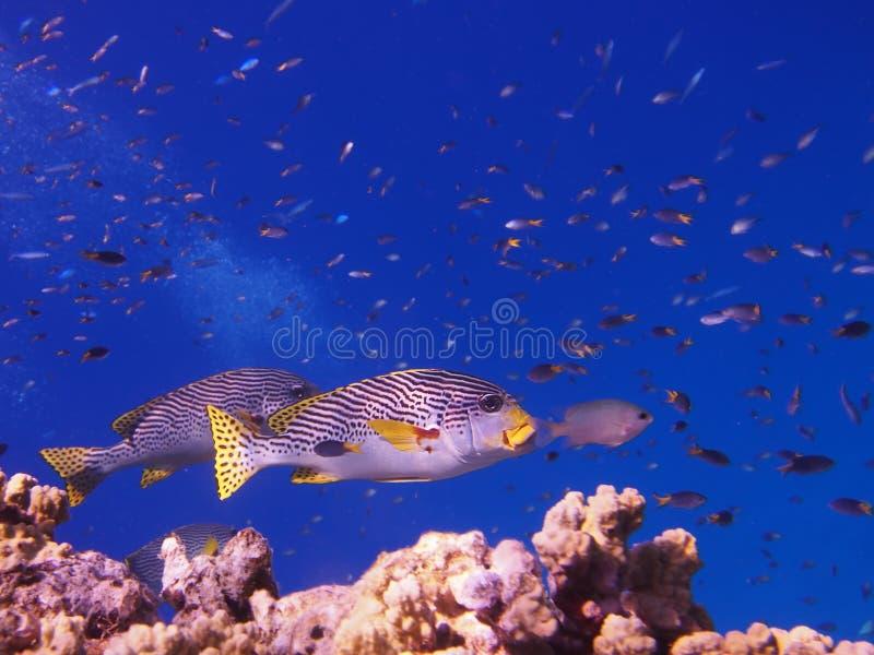 Рыбы Sweetlip стоковая фотография