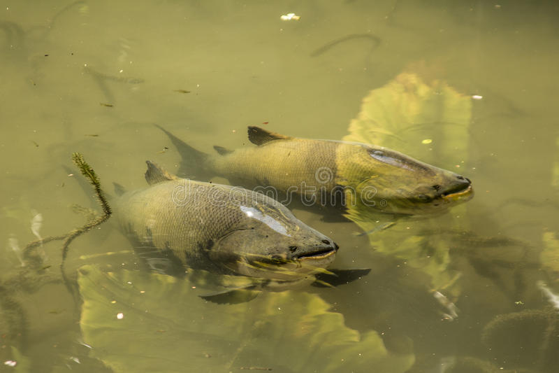 Рыбы Tambaqui в озере стоковая фотография rf
