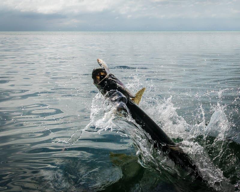 Рыбы Tarpon скача из воды - чеканщика Caye, Белиза стоковые изображения