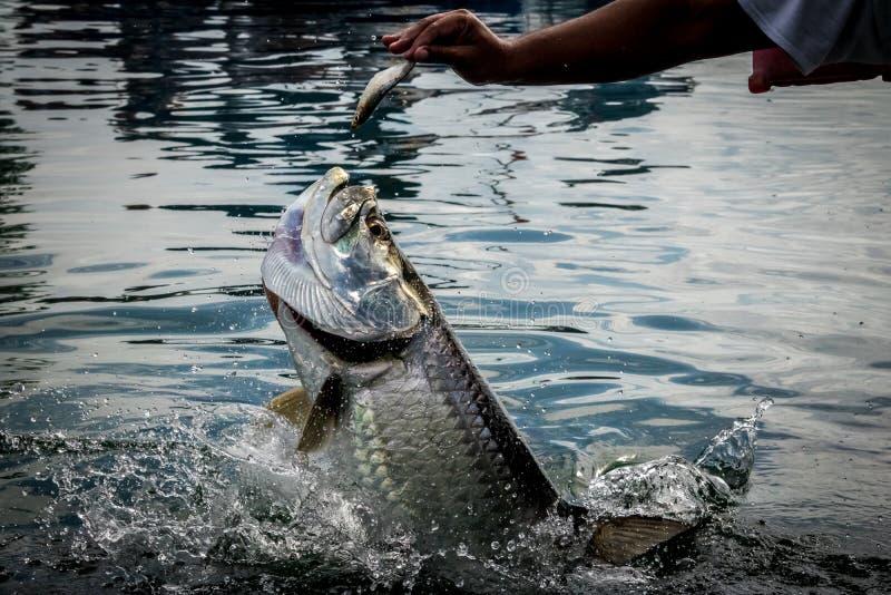 Рыбы Tarpon скача из воды - чеканщика Caye, Белиза стоковые изображения rf