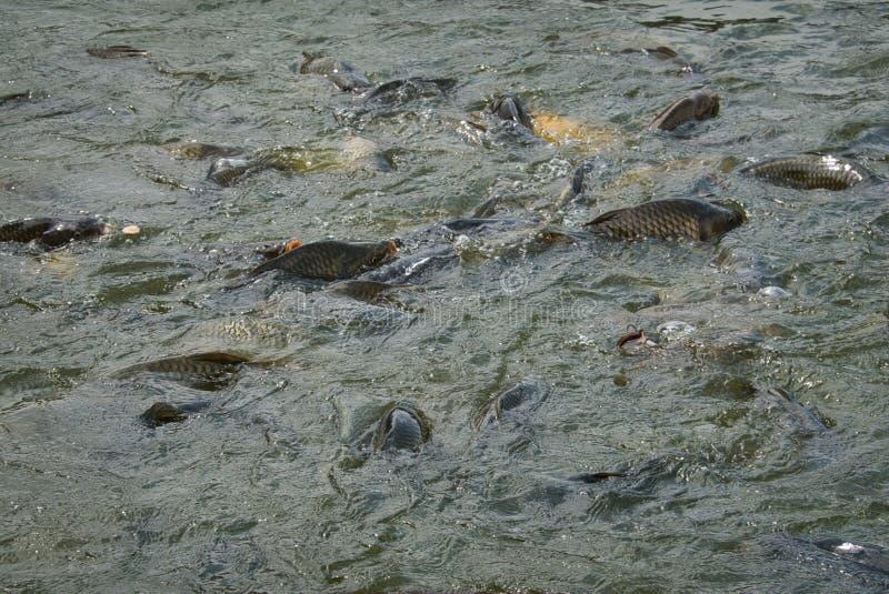 Рыб питаться остервенение стоковые изображения