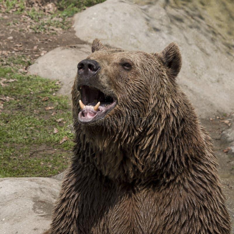 Рык бурого медведя стоковое изображение