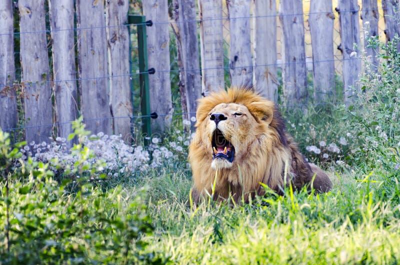 рык льва с открытым ртом стоковое изображение rf
