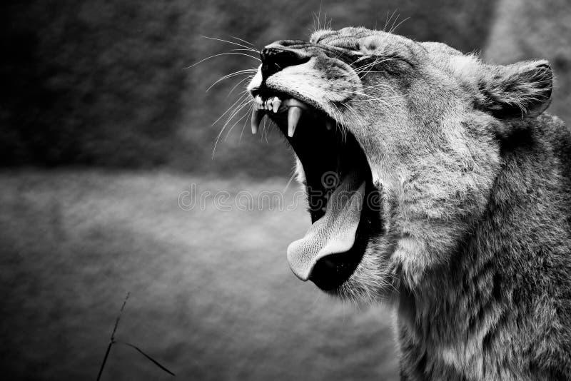 рык льва стоковое фото rf