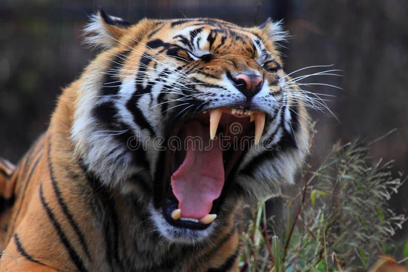 Рык тигра стоковая фотография