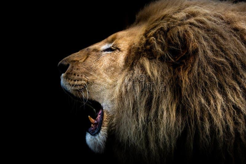 Рык ` s короля Джунглей африканский львев стоковая фотография rf