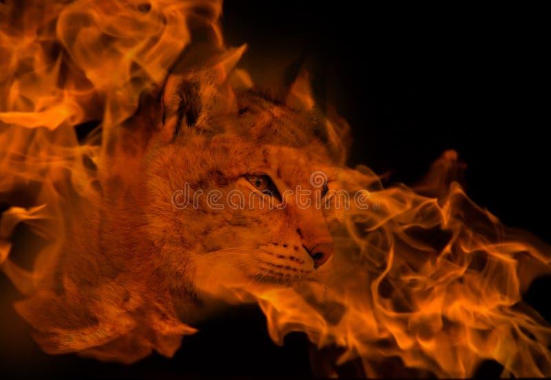 Рысь в концепции dander стоковое изображение