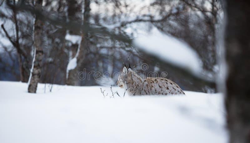 Рысь кладя в снег