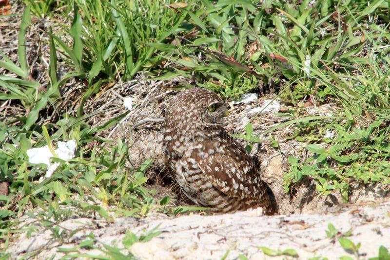 Рыть пар и цыпленока сыча в гнезде стоковое изображение