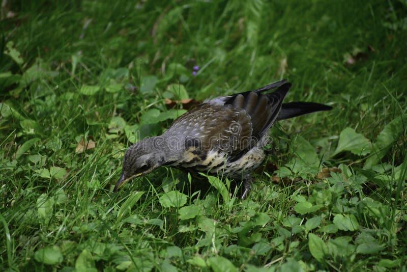 Рябинник ( turdus pilaris) стойки на траве и следы хищничают стоковая фотография