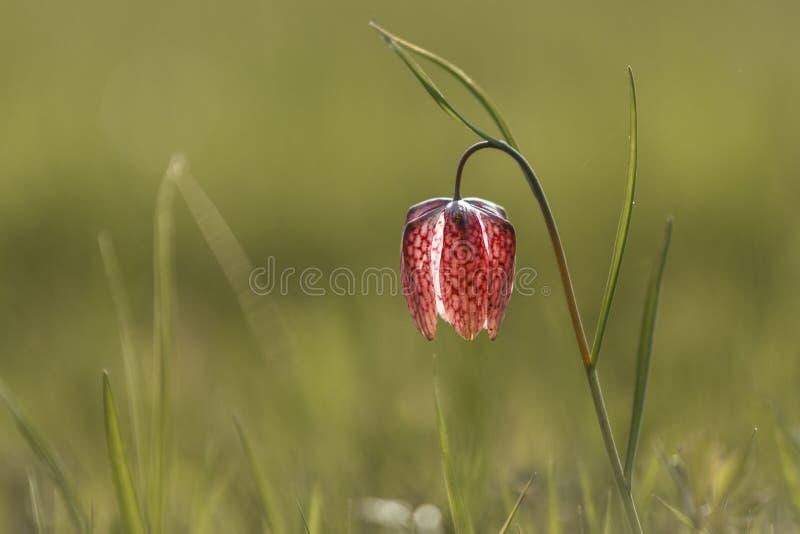 Рябчик назвал Голову Змейки с пурпурным chequered цветком с зеленой предпосылкой стоковое фото rf