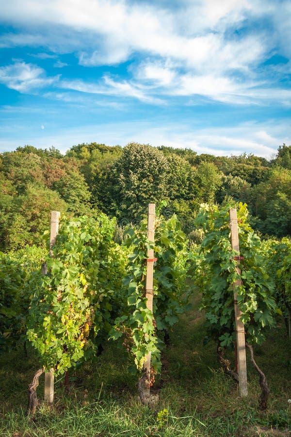 Рядки виноградника Стоковые Фотографии RF